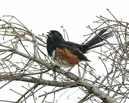 Big Meadows Eastern Towhee 1 by Lara Ellis