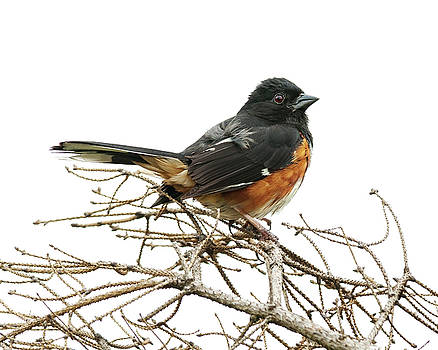 Big Meadows Eastern Towhee 2 by Lara Ellis