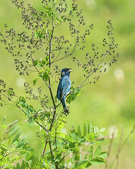 Big Meadows Indigo Bunting by Lara Ellis