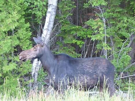 Big moose  by Scott Welton