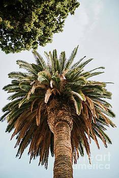 Big palm tree by Viktor Pravdica