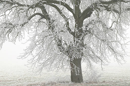 Martin Stankewitz - big pear tree in hoar frost