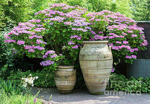 Compuinfoto - big vases with hydrangea hortensia background