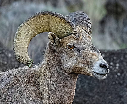 Bighorn Curl by Athena Mckinzie