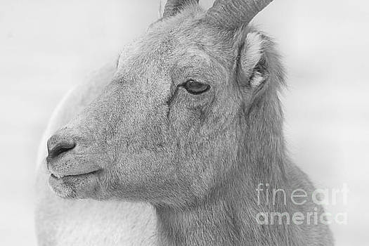 Adam Jewell - Bighorn Ewe Black And White