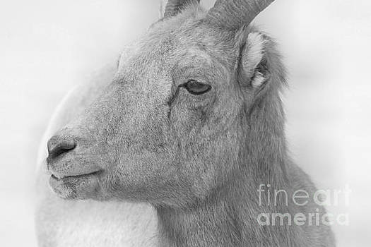 Adam Jewell - Bighorn Ewe Portrait Black And White