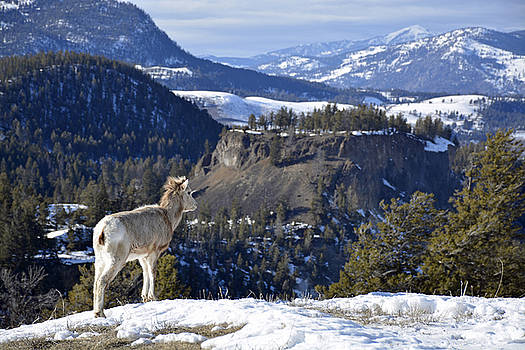 Bighorn Lamb in Yellowstone by Bruce Gourley