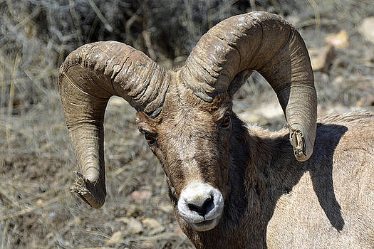 Bighorn Ram Face to Face by Bruce Gourley