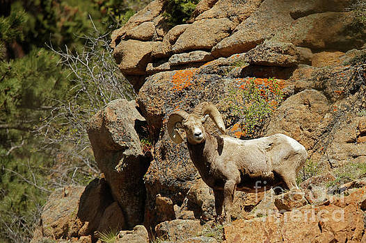 Bighorn Ram in the Mountains by Natural Focal Point Photography
