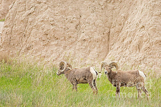 BigHorn Rams in South Dakota by Natural Focal Point Photography