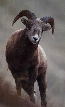 Diane Kurtz - Bighorn Sheep