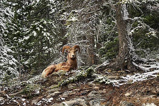 Bighorn Sheep by Donna Caplinger