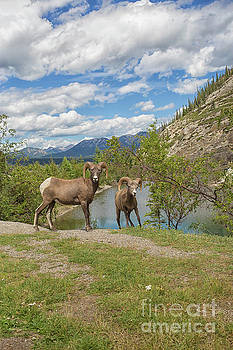 Patricia Hofmeester - Bighorn sheep in the Rockies in Canada