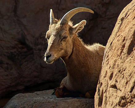 Nikolyn McDonald - Bighorn Sheep