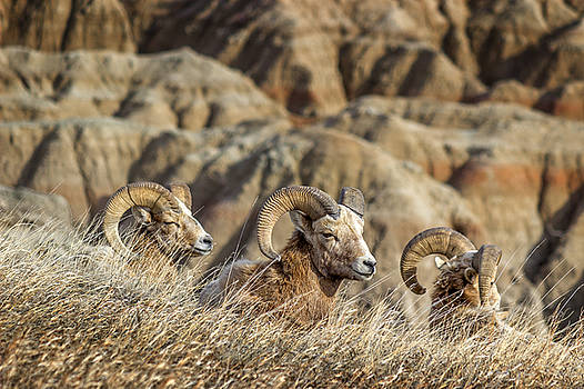 Bighorn Sheep Zen in the Sun by Ray Van Gundy