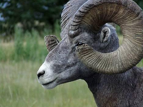 BIGHorned Ram by Tiffany Vest