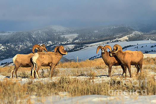 Adam Jewell - Bighorns In The Elk Refuge