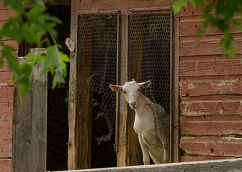 Dan Traun - Billy Goat