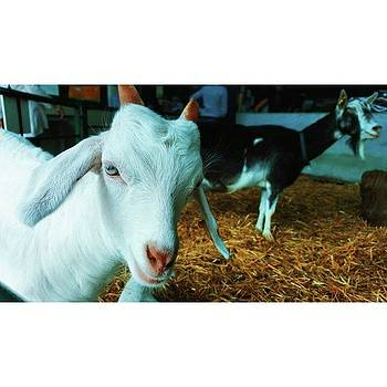 #billygoat #farm #sussex #animals by Natalie Anne
