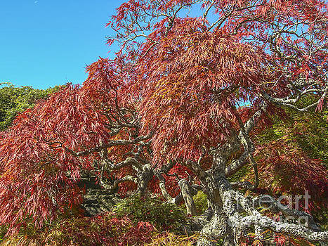 Dale Powell - Biltmore Estate Japanese Maple Tree