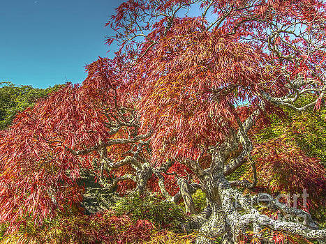Dale Powell - Biltmore Japanese Red Maple