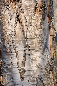 Valerie Kirkwood - Birch Abstract 1