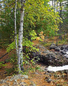 Birch Along Amnicon by Robin Clifton