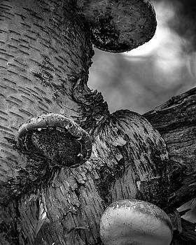 Birch and Mushrooms by Bob Orsillo