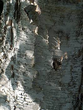 Birch Bark in sun and shadow by Denise   Hoff