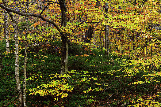 Reimar Gaertner - Birch Beech and Hemlock trees in the Fall at Smugglers Notch Sta