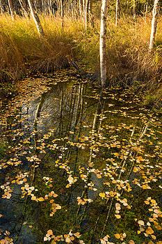 Birch Bog in Autumn by Tim Newton