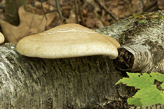 Michael Peychich - Birch Bracket Mushroom