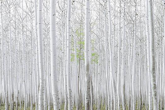 Birch Forest by Emma Lucas