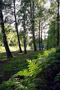 Birch grove by Juozas Mazonas