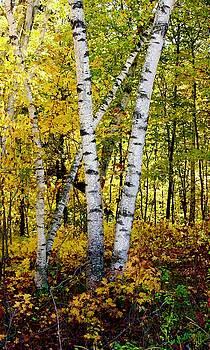 Birch in Gold by Sarah Lilja
