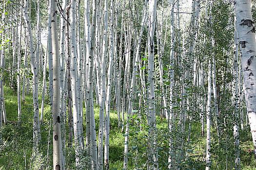 Birch tree forest. by Alex Kossov