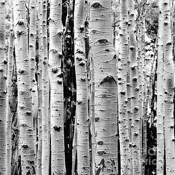 Birch Tree Forest by Phil Perkins
