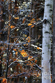 Birch Tree in Winter by Kathy DesJardins