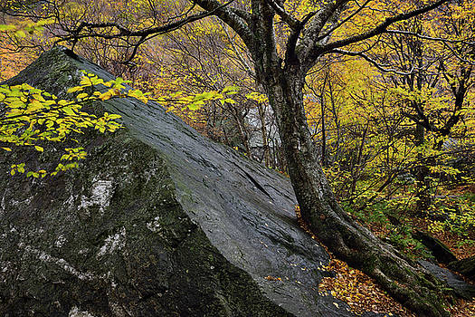 Reimar Gaertner - Birch tree leaning against a boulder in the Fall at Smugglers No