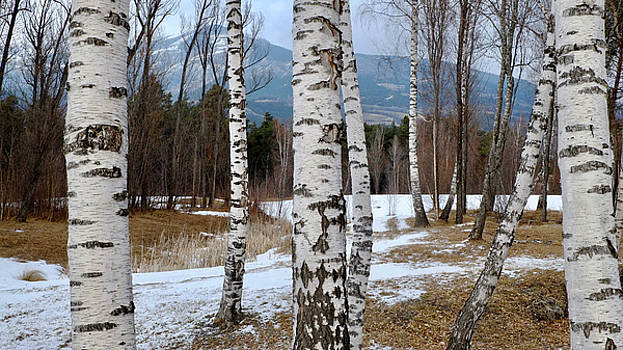 Birch trees in the Alps by August Timmermans