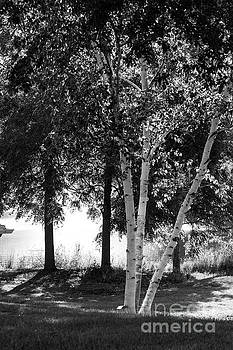 Birch Trees by John Herzog