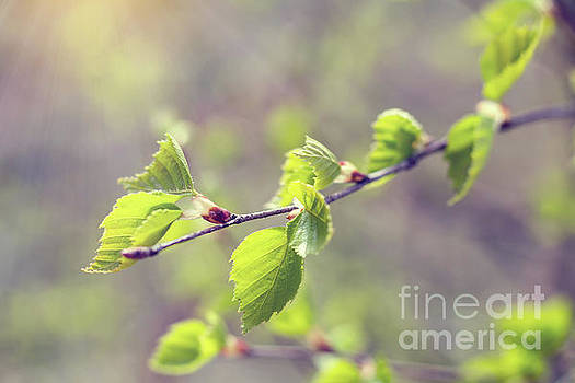 Birch twig with young foliage by Victoria Kondysenko