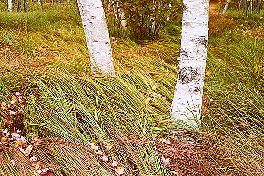 Birches and Grass  Photo by Peter J Sucy