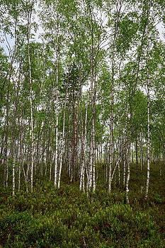 Birches by te lake by Jouko Lehto