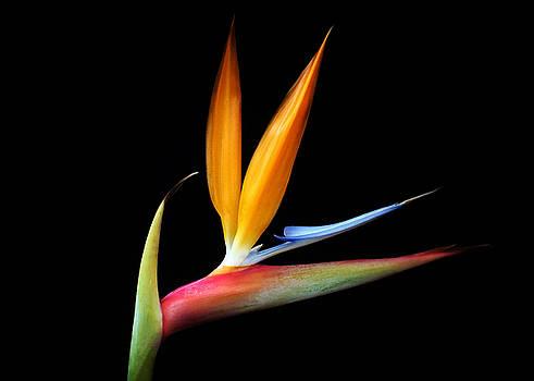 Bird of Paradise Flower by Carol Welsh
