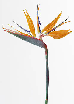 Bird of Paradise Flower by Michelle Halsey