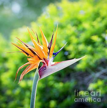 Tim Hester - Bird Of Paradise Flower