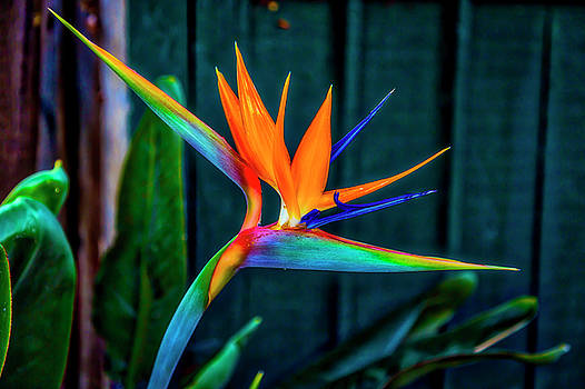 Bird Of Paradise by Garry Gay