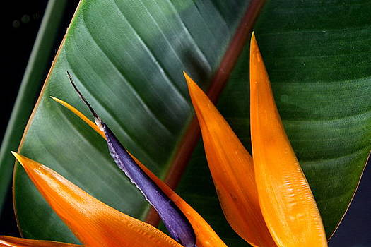 Diane Merkle - Bird of Paradise II
