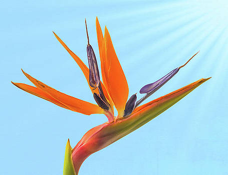 Bird of Paradise on Blue by Jan Hagan